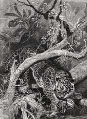 1880 Paradise Lost - Big Cats, Jaguar catching a Catfish in the Paran River (Ro Paran runs through Brazil, Paraguay and Argentina for some 4,880 kilometers) (KrooneGallery) Tags: 1880 paradise lost beautiful jaguar catching giant catfish paran river ro runs through brazil paraguay argentina big cats