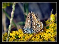 Hauhechelbluling (jedoch bin ich mir nicht ganz sicher) (karin_b1966) Tags: schmetterling butterfly insekt insect garten garden natur nature hauhechelbluling 2016 goldrute yourbestoftoday
