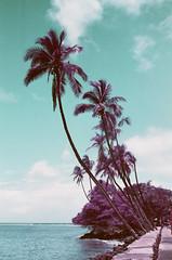 Front Street Palms,  Lahaina, Maui (bloodyeyeballs) Tags: lomochrome lomochromepurple film 35mmfilm filmphotography filmisnotdead analogue buyfilmnotmegapixels ishootfilm staybrokeshootfilm thefilmcommunity leica leicam3 summilux50 hawaii maui lahaina streetphotography streetphoto leicam purple lomography lomographypurple