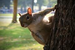 Boston Public Gardens (RachelThomas424) Tags: boston gardens wildlife squirrel greysquirrel
