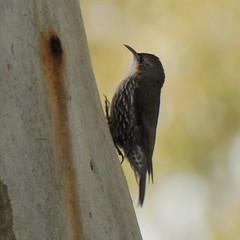 Cormobates leucophaea  (Diana Padrn) Tags: whitethroated treecreeper cormobates leucophaea victoria australia bird birds wildlife nature naturaleza warbyovens national park
