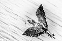 Vuelo (jose alb) Tags: gaviota mar vuelo aire comida pesca libertad agua