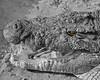 The green-eyed monster! (Rainbirder) Tags: kenya maasaimara nilecrocodile crocodylusniloticus rainbirder