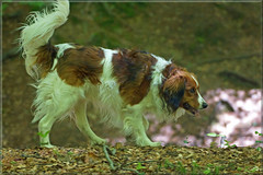 Banjer, our great friend (Foto Martien) Tags: dog holland netherlands dutch friend sony young hound nederland hond gps mate jong a77 vriend 70300 geotagging kooiker kooikerhondje kooikerdog kooikerhond kooikerhound kooikertje smalldutchwaterfowldog martienuiterweerd martienarnhem dutchdecoydog fotomartien sonyslta77v sonyalpha77 geotaggedwithgps tamron70300mmf456sp nederlandsekooikerhondje koaikerhntsje koaikerke 15mei2015 vereniginghetnederlandsekooikerhondje vhnk may142015