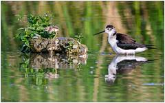 Cavalieri d'Italia (Fausto Deseri) Tags: wild nature birds wildlife cavaliereditalia himantopushimantopus blackwingedstilt nikontc17eii nikkorafs300f4 oasiditivolimanzolino nikond7100 sitodimanzolino