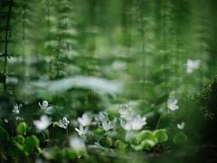 undergrowth (miemo) Tags: flowers fern nature closeup forest finland spring helsinki europe bokeh olympus voigtländer omd underbrush woodsorrel oxalisacetosella ketunleipä pitkäkoski voigtländernokton425mmf095 em5mkii