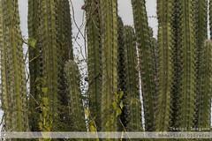 Cacto (Amarildo Oliveira) Tags: venezuela cacto americadosul amricadosul suramerica stenocereus regiorida tucupiimagens vegetaoderegiorida