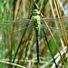 Emperor Dragonfly (f) (Explored)