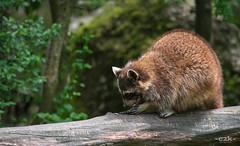 Waschbr / Racoon (-c2k-) Tags: animal animals schweiz switzerland tiere nikon outdoor luzern nikkor racoon tierpark dx isvicre waschbr goldau 55300mm d7200