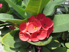 Small Tropical Red Flowers (shaire productions) Tags: pink red flower detail macro nature floral closeup petals image blossom picture photograph imagery
