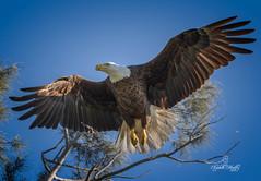 Bald Eagles (Liza Morffiz) Tags: florida south bald eagles
