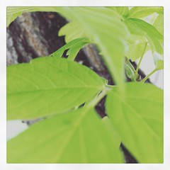 Macro Monday 5/16/16 - just leaves (f l a m i n g o) Tags: greenleaves square group gingham squareformat theme 19245 macromonday iphoneography instagramapp uploaded:by=instagram