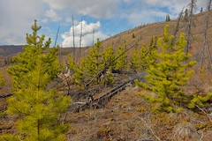 Pine Re-growth in the Fox Lake Burn (MIKOFOX  Catching Up!) Tags: canada pine clouds landscape spring hill may yukon forestfire wildfire regrowth xt1 fujifilmxt1 xf18135mmf3556rlmoiswr screwtheautotagbot mikofox