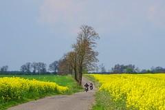 driving away (JoannaRB2009) Tags: dzkie lodzkie polska poland nature fields canola trees path road spring yellow