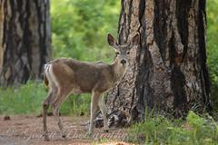 Hello Dear. (gossettphotography) Tags: canon wildlife yosemite yosemitenationalpark muledeer