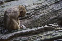 Sleeping Chimp (sophiehep) Tags: sleeping monkey spain furry chimp sleep asleep primate bioparc