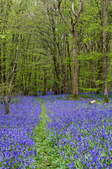 Bluebell Path (Craig Williams Photography) Tags: bluebells arlington sussex path eastsussex craigwilliamsgallery