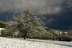 Apple tree (balu51) Tags: morning sky clouds dark grey switzerland himmel grau orchard april 60mm morgen dunkel appletree apfelbaum morningwalk wolkig 2016 morgenspaziergang obstgarten aprilwetter schneeschauer aprilweather dunkelgrau lowsky copyrightbybalu51