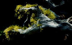 Walk in the woods (Pictoscribe) Tags: light tree dragon decay lichen root pictoscribe