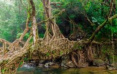 Living Root Bridge (rob of rochdale) Tags: bridge india tree nature wonder ngc jungle tribe root meghalaya neindia khasi livingrootbridge robhaich