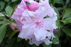 IMG_2972.JPG (robert.messinger) Tags: flowers rhodies