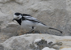 Pied Wagtail 1 20160507 (Steve TB) Tags: cliff bird canon piedwagtail broadstairs eos7dmarkii
