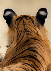 TIG00851GB_1 (giles.breton) Tags: india tiger tigers endangered ranthambhore panthera threatened andyrouse ranthambhorenationalpark pantheratigristigris royalbengaltiger dickysingh