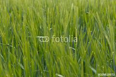 grne Gerste (vivalatinoamerica) Tags: field barley natur pflanze crop grn schwarzwald frhling acker getreide gerste getreidefeld fotolia ackerbau feldfrchte dinkelberg