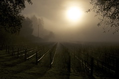 Waking Up In Napa (blueteeth) Tags: morning fog vineyard napa lowsun vinerows