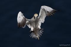 Northern Gannet (Ross Forsyth - tigerfastimagery) Tags: wild bird nature scotland inflight wings wildlife free animalplanet seabird morayshire northerngannet rspb trouphead fantasticwildlife