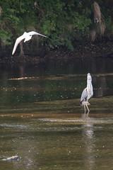 Attack on Heron River Ribble Brockholes Nature Reserve (Graham Howarth) Tags: heron nature river reserve attacking ribble brockholes