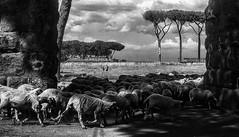 Parco degli acquedotti (leosagnotti) Tags: sheep campagna romana pecore gregge acquedotti