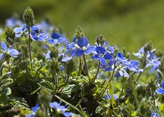 Speedwell (Nige's Place) Tags: england somerset speedwell