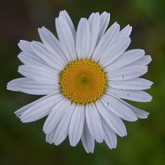 Raindrops (daveumich) Tags: michigan upperpeninsula wildflower