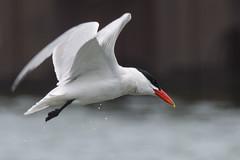 DUD_3823r (crobart) Tags: lake ontario bird birds port caspian erie tern dover