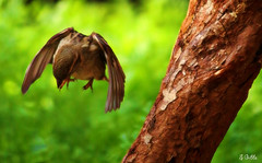 the common sparrow (gshaun12) Tags: motion tree green bird nature closeup dof bokeh wildlife sparrow fantasticnature