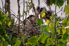 Heron chicks (mark3210) Tags: bird heron nest handheld birdnest greatblueheron cherrycreekstatepark heronchick