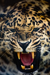 Jagsy (pixip53) Tags: cat big feline trust jaguar survival snarl 500px ifttt
