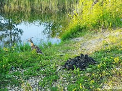 #россия #рубеж #утка #утята #водоем #трава #камни #пожарныйводоем #лето2016 #21июня #инста #russia #duck #ducks #water #grass #rocks #summer2016 #june21 #insta #galaxys7edge #samsung #faslockon