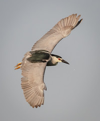 Black-crowned Night Heron banking (tresed47) Tags: 2016 201606jun 20160620njoceancitybirds birds blackcrownednightheron canon7d content folder heron newjersey oceancity peterscamera petersphotos places takenby us