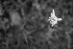 emerging daisy, from above, grasses, Monhegan, Maine, Nikon D40, Sigma 18-50mm EX DC MACRO, 6.26.16 (steve aimone) Tags: daisy emerging fromabove lookingdown grasses monhegan monheganisland maine monochrome blackandwhite nikond40 sigma1850mmexdcmacro macro flower floral blossom