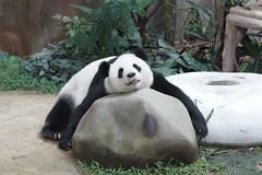 Feng Yi (/) aka Liang Liang 2016-06-16 (kuromimi64) Tags: bear zoo panda malaysia nationalzoo kualalumpur giantpanda   zoonegara     fengyi  liangliang selangordarulehsan  zoonegaramalaysia