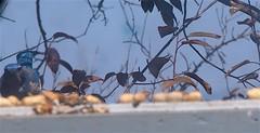 Peanuts 2040906 (caligula1995) Tags: 2014 balconygarden peanuts scrubjay