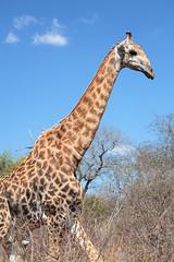 Old giraffe (crafty1tutu (Ann)) Tags: old travel wild holiday male animal southafrica free giraffe wrinkles krugernationalpark 2014 anncameron inthewild roamingfree canon100400mmlens naturethroughthelens canon5dmkiii naturescarousel goingagaininjuly