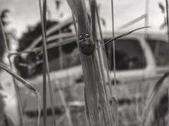 (***toile filante***) Tags: summer blackandwhite bw detail macro nature grass animal insect dof bokeh sommer details natur beetle meadow wiese july sw gras juli makro insekt tier kfer marienkfer schwarzweis