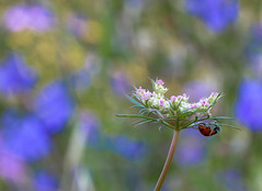 La coccinella - Il ritorno ((Raffaella@)) Tags: flowers bokeh ladybug fiori azzurro coccinella mattinapresto