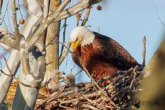 Eaglets4_29_2015007 (eaglerm_99) Tags: life old blue brown white tree bird big babies unitedstates nest eagle pennsylvania live baldeagle young easton eaglet tamron200500mm sonya77