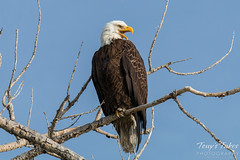 Bald Eagle yawns