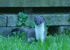 Young Stoat (Dillon27) Tags: garden nikon kit nikkor nationalgeographic stoat 300mmf4 redbourne d7100