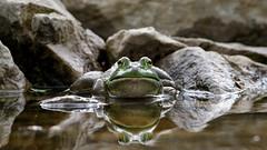 Bullfrog by Steve Gifford (Steve Gifford - IN) Tags: macro nature closeup photo eyes wildlife steve picture indiana frog photograph steven herp herps bullfrog gifford haubstadt